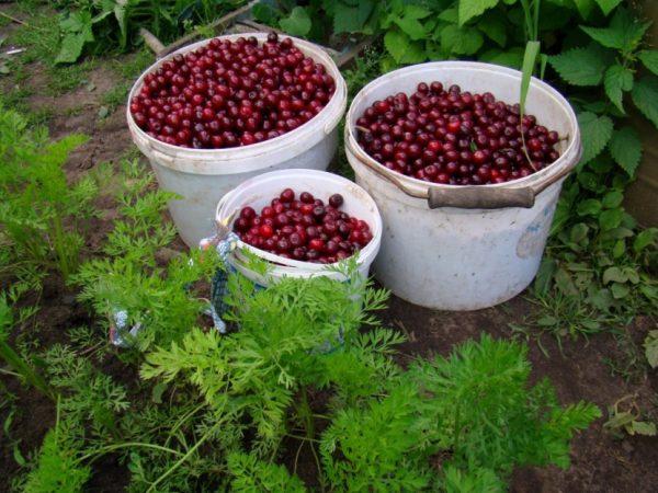 Урожай вишни-шоколадницы