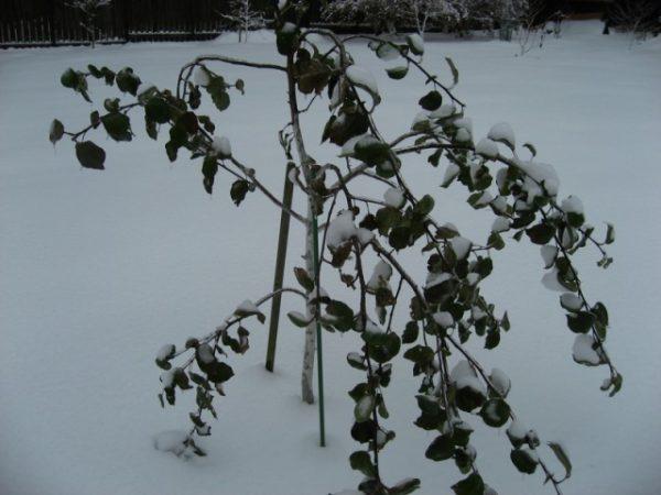 В Северо-западном регионе рекомендуется выращивать зимостойкие яблони