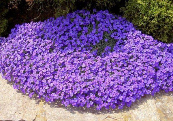 В освещенном месте цветы обширно разрастаются