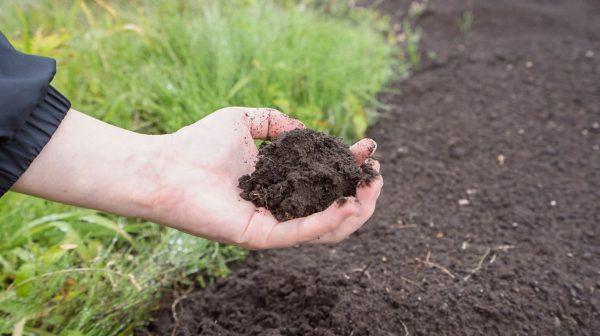 В питательной почве клубни будут задерживаться дольше, чем в истощенной