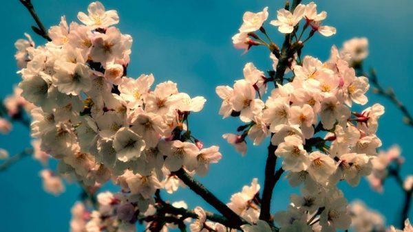 Вишневое дерево в период цветения
