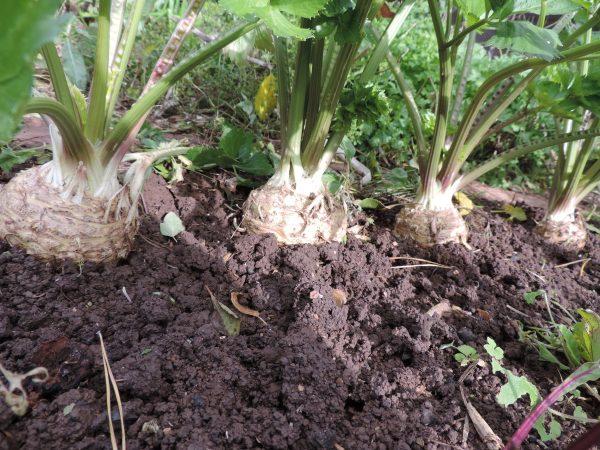 Сельдерей правильной формы лучше хранится и удобней выкапывается