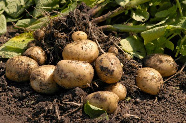 Воздействие химикатом как на конкретный урожай, так и на экологию в целом носит негативный характер