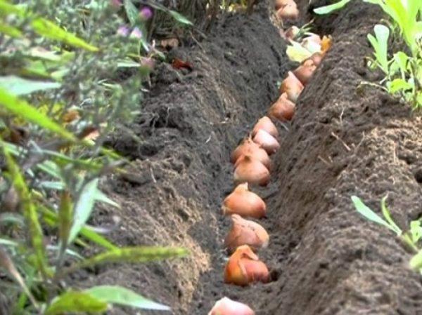 Время посадки тюльпанов зависит от климата конкретного региона