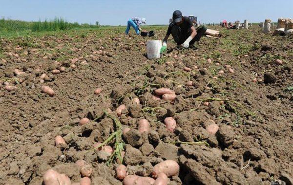 Время сбора урожая зависит от региона, в котором картофель произрастает