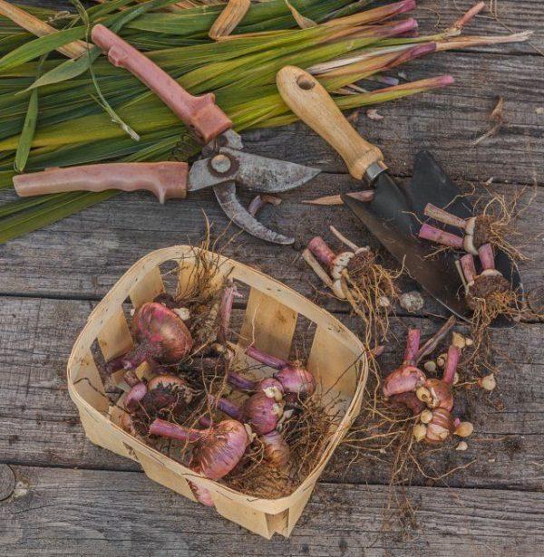 Все остатки влаги, которые луковицы получили из почвы, должны испариться