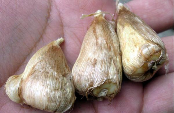 Выбор луковиц