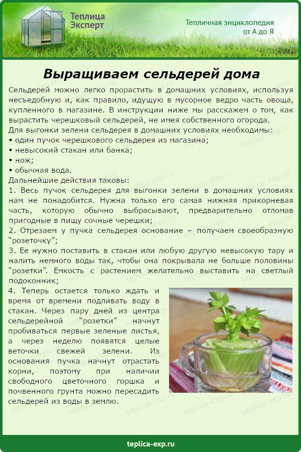 Выращиваем сельдерей дома