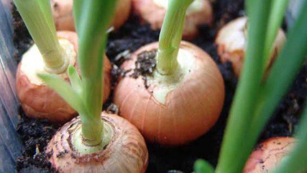 Выращиваемый в почве лук может давать урожаи неоднократно