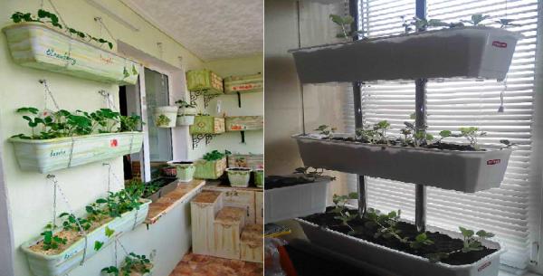 Выращивание клубники на балконе в ящиках