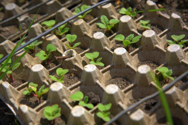 Выращивание редиски в яичных контейнерах