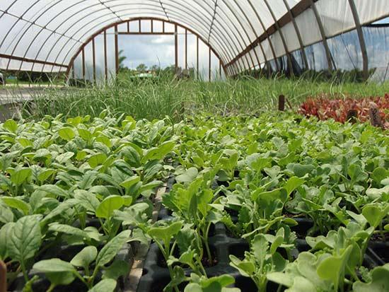 Выращивание редьки в теплице