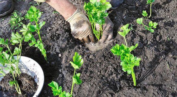 Главная задача при пикировке - не задеть корень растения