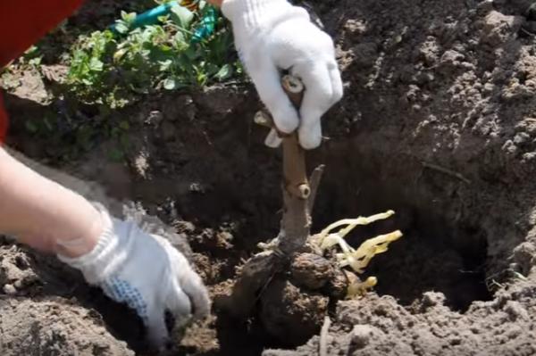 Высаживание георгина в лунку