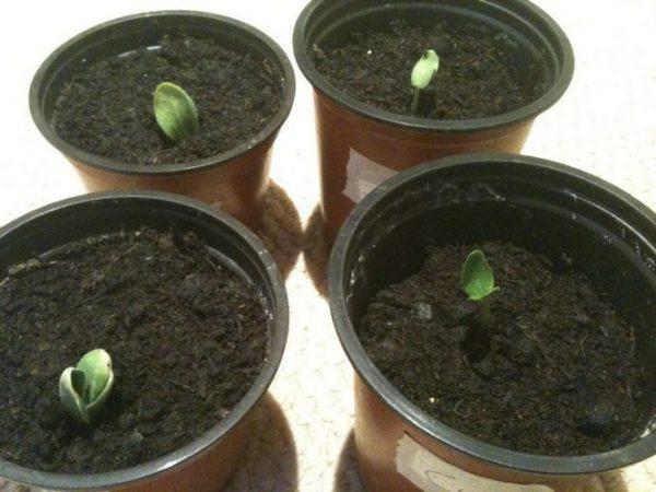 Высаживать рассаду в горшки - значит, уберечь корни при посадке на грунт