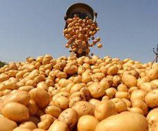 Высокий урожай картофеля обеспечит протравка клубней