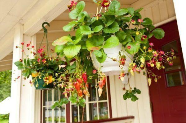 Вьющуюся клубнику часто используют для декора помещений