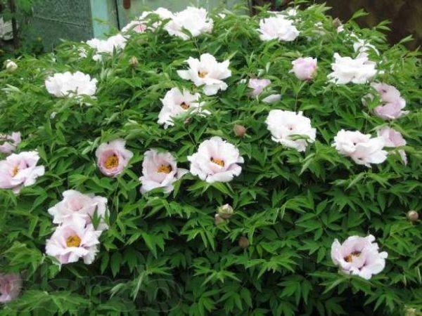 Японские сорта имеют легкие и воздушные цветы
