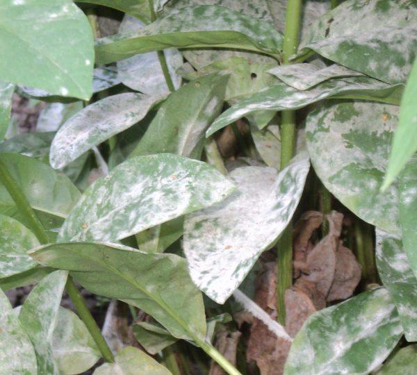 Заболевшее растение