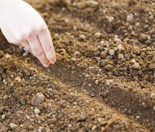 Засеивание корневой петрушки на садовом участке