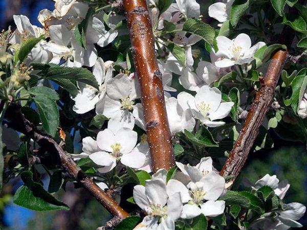 Здоровое дерево в цвету