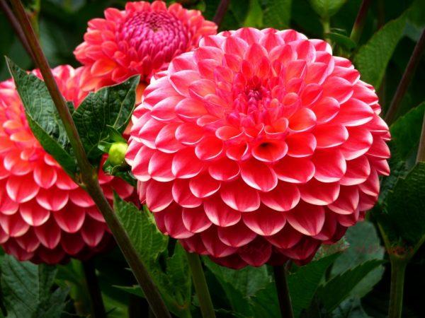 Здоровые цветы георгина