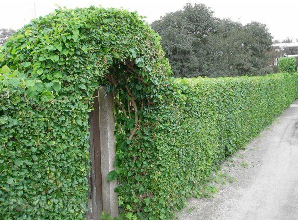 Зеленый забор из дикого винограда
