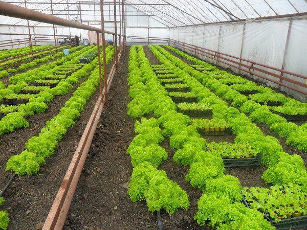 Зимой укроп можно выращивать в теплице