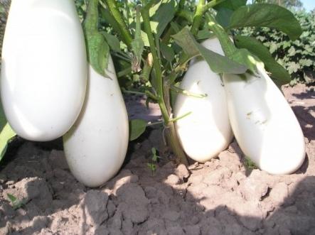 Белые баклажаны сорта Бибо