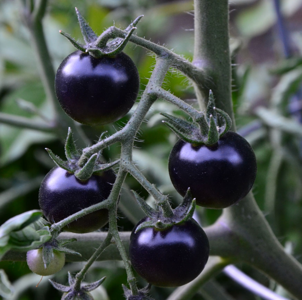 Чёрный жемчуг на пике своего цветения напоминает гроздь винограда
