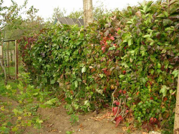 Забор из девичего винограда