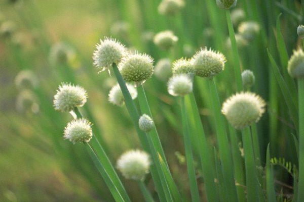 Цветение лука-батуна