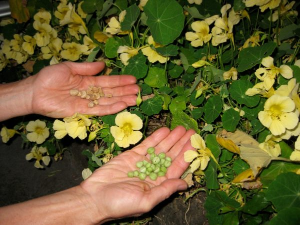Сбор семян настурции