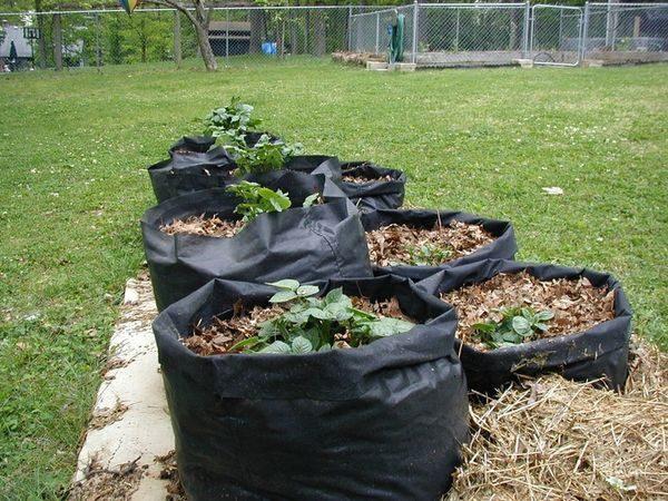 Чаще всего выращивание картошки в мешках практикуется в регионах с бедной почвой, непригодной для взращивания рассматриваемой культуры