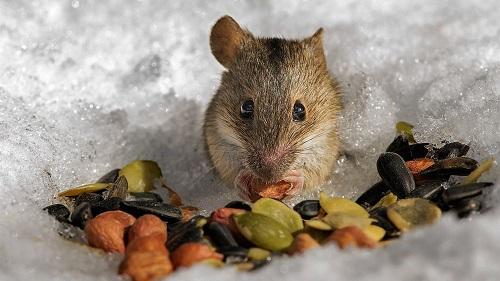 Мышь не забудет про яблоню даже если ей предложат альтернативу