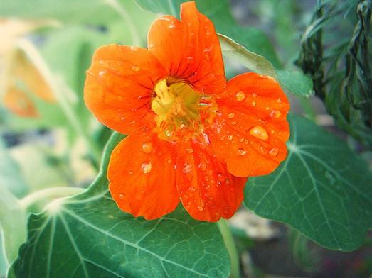 Цветение после высадки начинается примерно через месяц - полтора