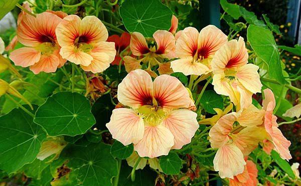Настурция может защитить от вредителей растущие рядом растения