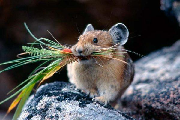 Небольшая мышь в день может съедать до 50 г коры