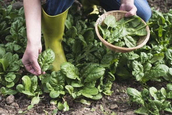 Шпинат: выращивание и уход