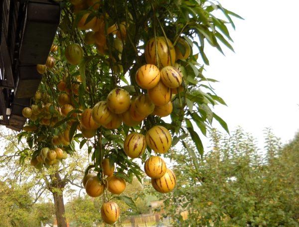 Данное растение, несмотря на его тропическое происхождение, относится к категории неприхотливых культур