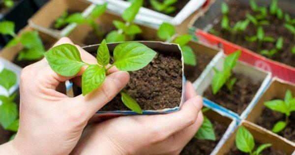 Перцам нужно создавать на ранних стадиях роста особенный температурный режим