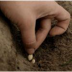 поместить в каждое углубление семена (от 2 до 5);