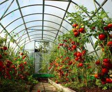 Тепличные помидоры