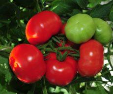 Своим названием помидоры рассматриваемого сорта обязаны эффектному внешнему виду плодов