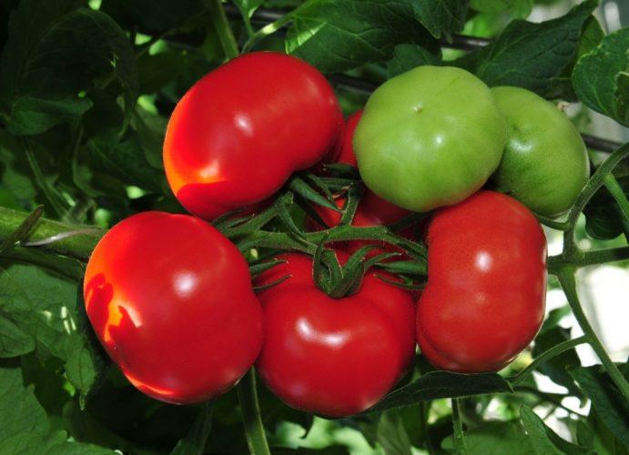 Супер ранние сорта томатов для открытого грунта