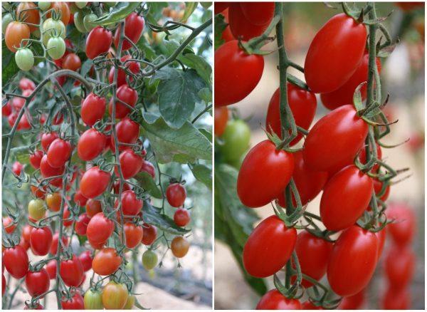 Томаты с одного куста могут созреть не одновременно. Раньше времени срывать зелёные плоды не нужно. Они должны дозревать естественным путем, на ветке