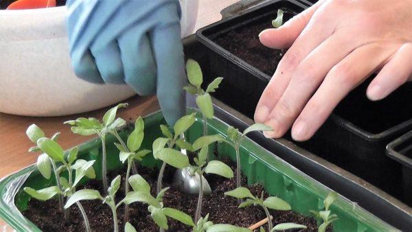 Как пикировать рассаду помидор?