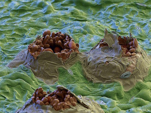 Тунбергия подвержена грибковым инфекциям