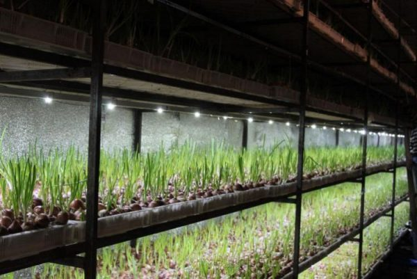 Изображение - Выращивание лука как бизнес 1583062627-600x401