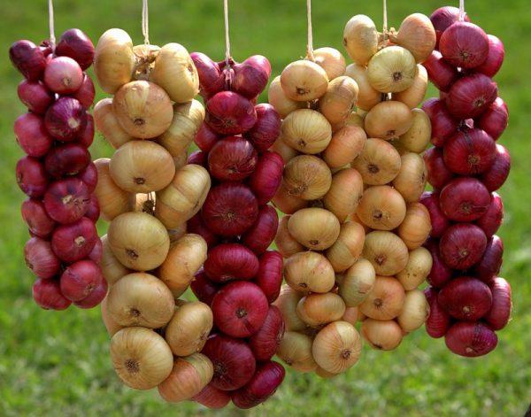 Изображение - Выращивание лука как бизнес 3-1-600x471